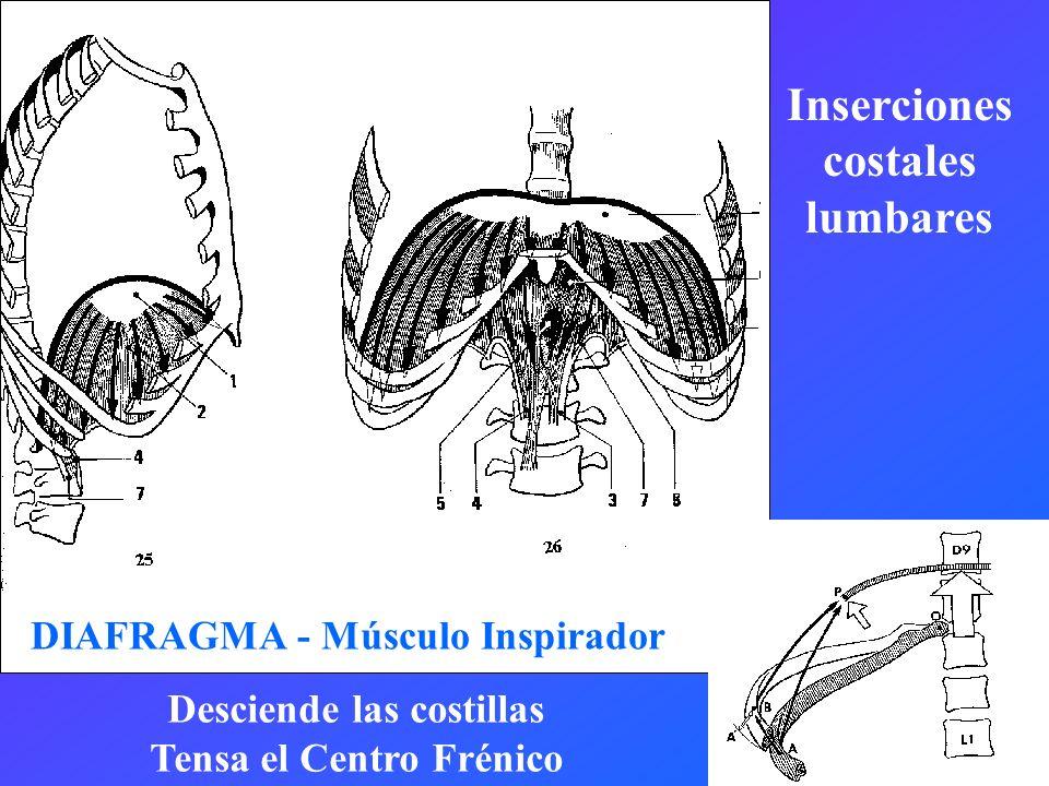 DIAFRAGMA - Músculo Inspirador Desciende las costillas Tensa el Centro Frénico Inserciones costales lumbares