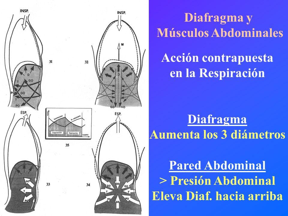 Diafragma y Músculos Abdominales Acción contrapuesta en la Respiración Diafragma Aumenta los 3 diámetros Pared Abdominal > Presión Abdominal Eleva Dia