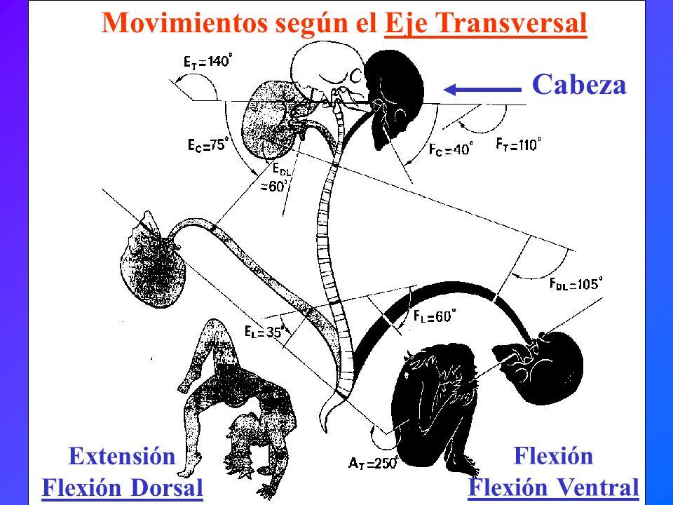 Extensión Flexión Dorsal Movimientos según el Eje Transversal Flexión Flexión Ventral Cabeza
