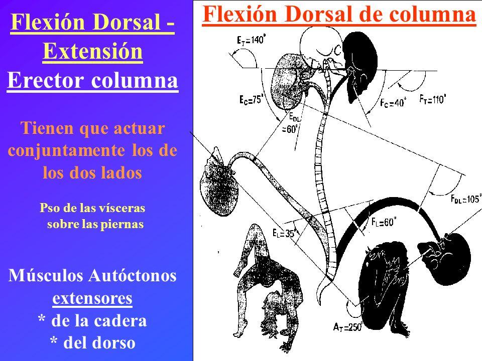 Flexión Dorsal - Extensión Erector columna Tienen que actuar conjuntamente los de los dos lados Pso de las vísceras sobre las piernas Músculos Autócto