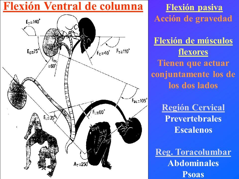 Flexión pasiva Acción de gravedad Flexión de músculos flexores Tienen que actuar conjuntamente los de los dos lados Región Cervical Prevertebrales Esc