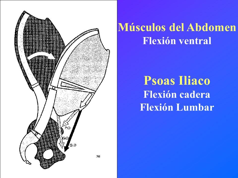 Músculos del Abdomen Flexión ventral Psoas Iliaco Flexión cadera Flexión Lumbar