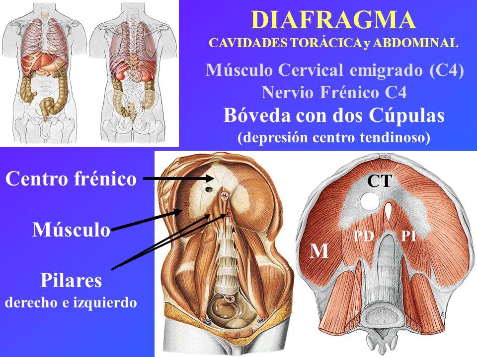 DIAFRAGMA CAVIDADES TORÁCICA y ABDOMINAL Centro frénico Músculo Pilares derecho e izquierdo Bóveda con dos Cúpulas (depresión centro tendinoso) M CT P