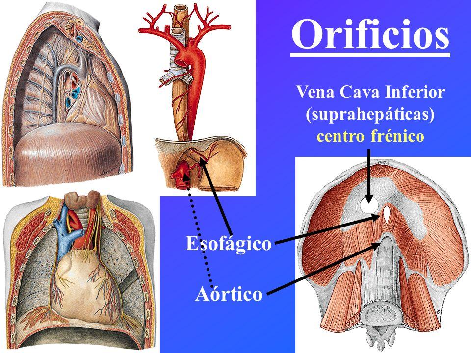 Orificios Vena Cava Inferior (suprahepáticas) centro frénico Esofágico Aórtico
