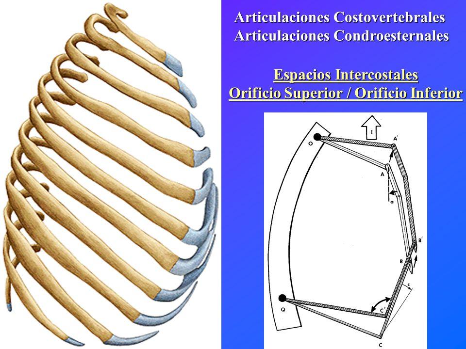 Articulaciones Costovertebrales Articulaciones Condroesternales Espacios Intercostales Orificio Superior / Orificio Inferior