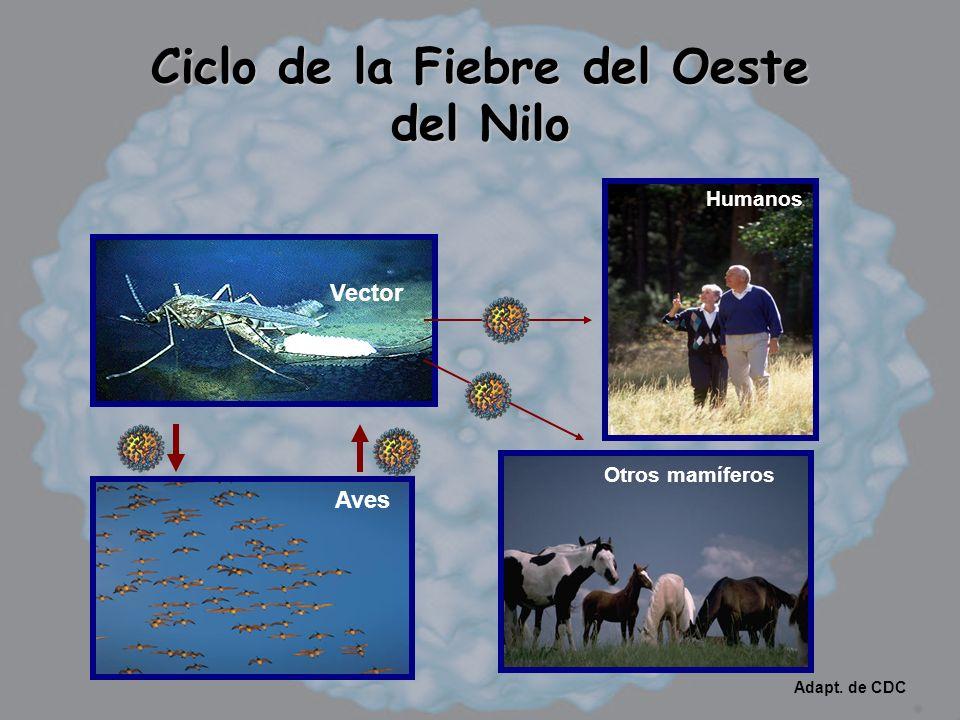 Ciclo de la Fiebre del Oeste del Nilo Vector Humanos Aves Otros mamíferos Adapt. de CDC