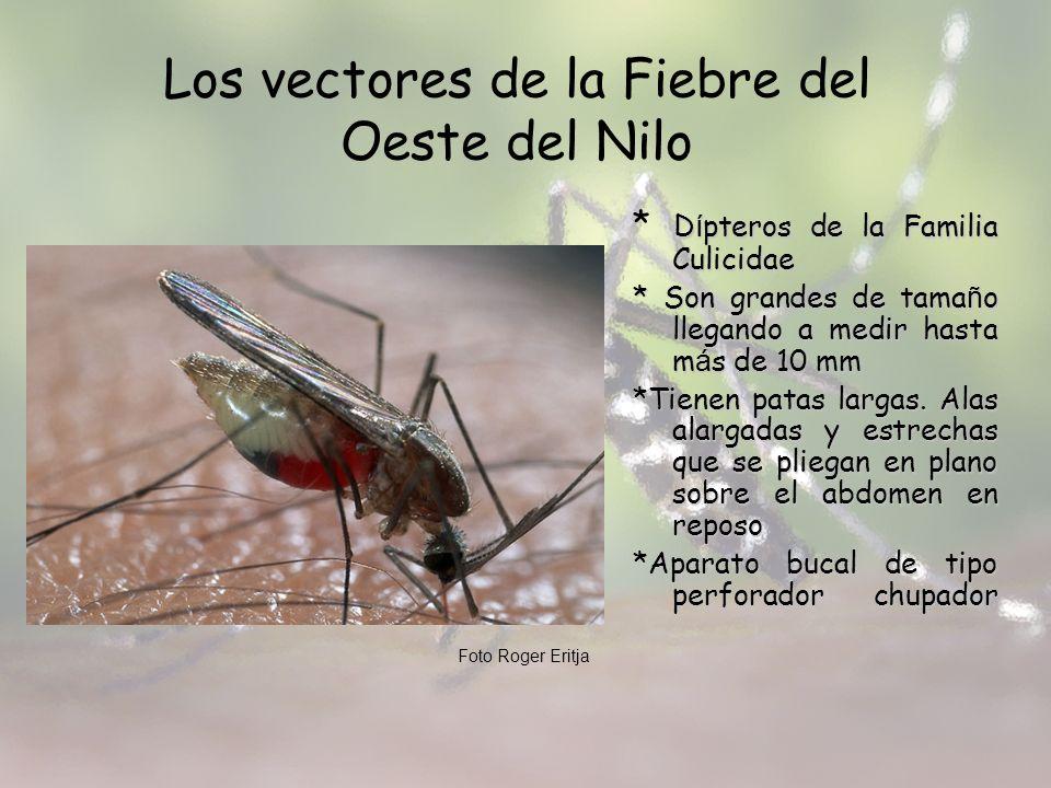 Los vectores de la Fiebre del Oeste del Nilo D í pteros de la Familia Culicidae * D í pteros de la Familia Culicidae * Son grandes de tama ñ o llegand