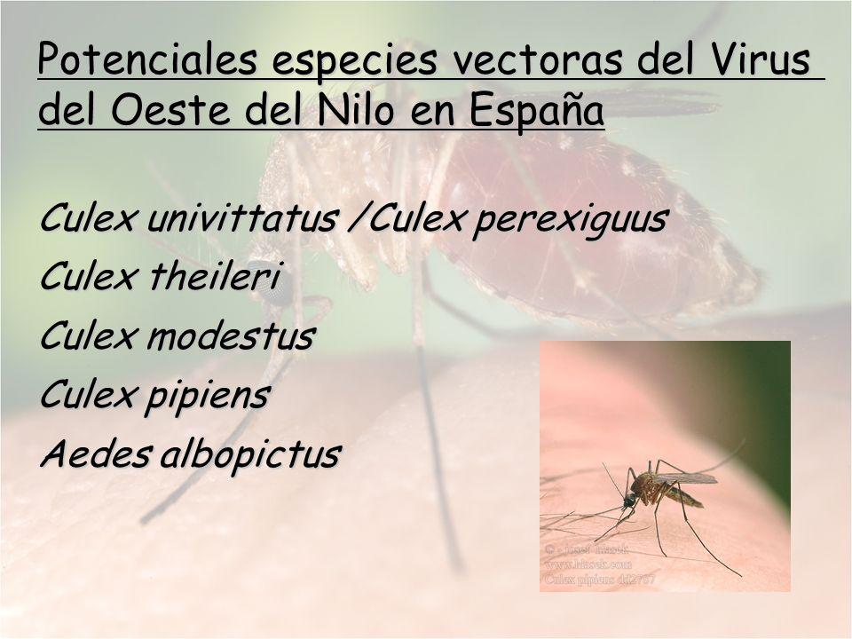 Potenciales especies vectoras del Virus del Oeste del Nilo en España Culex univittatus /Culex perexiguus Culex theileri Culex modestus Culex pipiens A