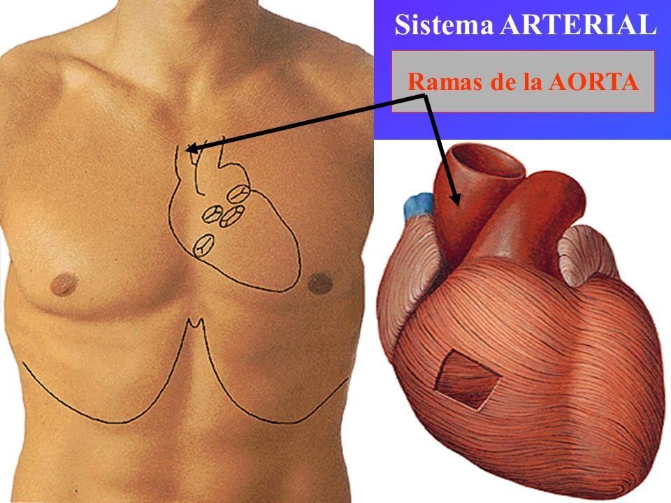 Ascendente Cayado Descendente Torácica Abdominal AORTAAORTA Ilíacas (IV lumbar)