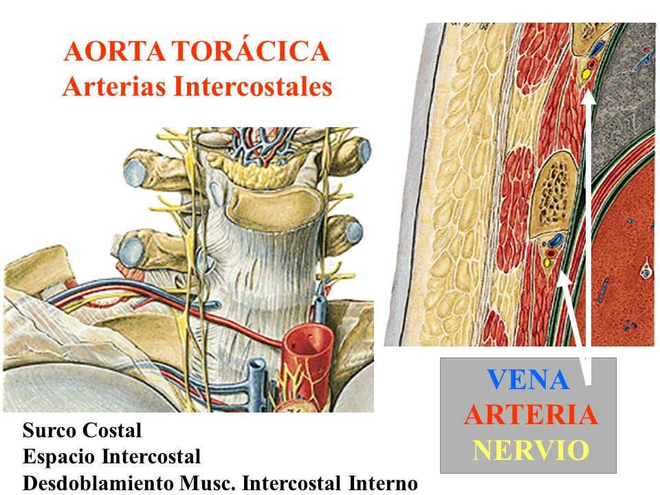Dorsal AORTA TORÁCICA Art Intercostales Art.Mamaria Interna Ventral Art.