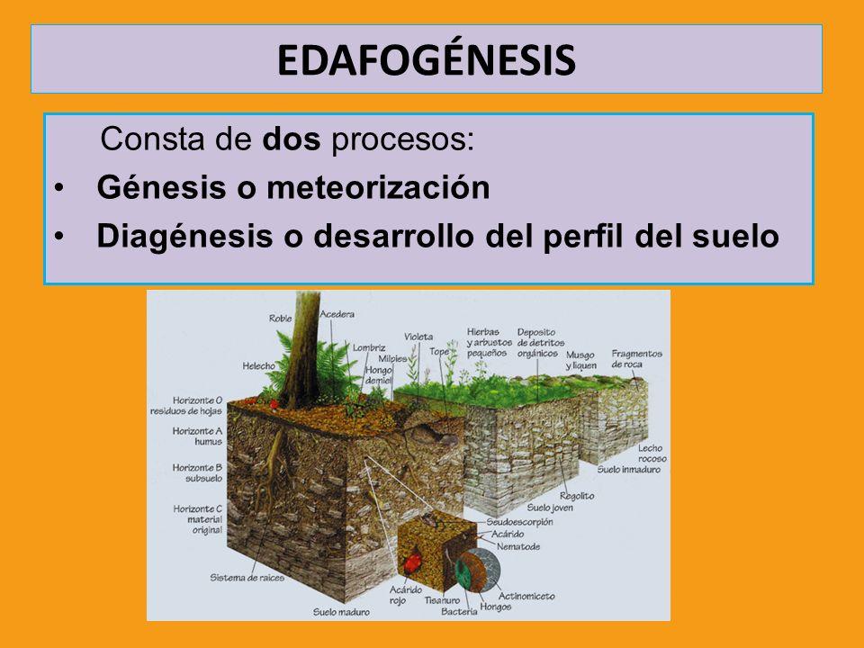 EDAFOGÉNESIS Consta de dos procesos: Génesis o meteorización Diagénesis o desarrollo del perfil del suelo