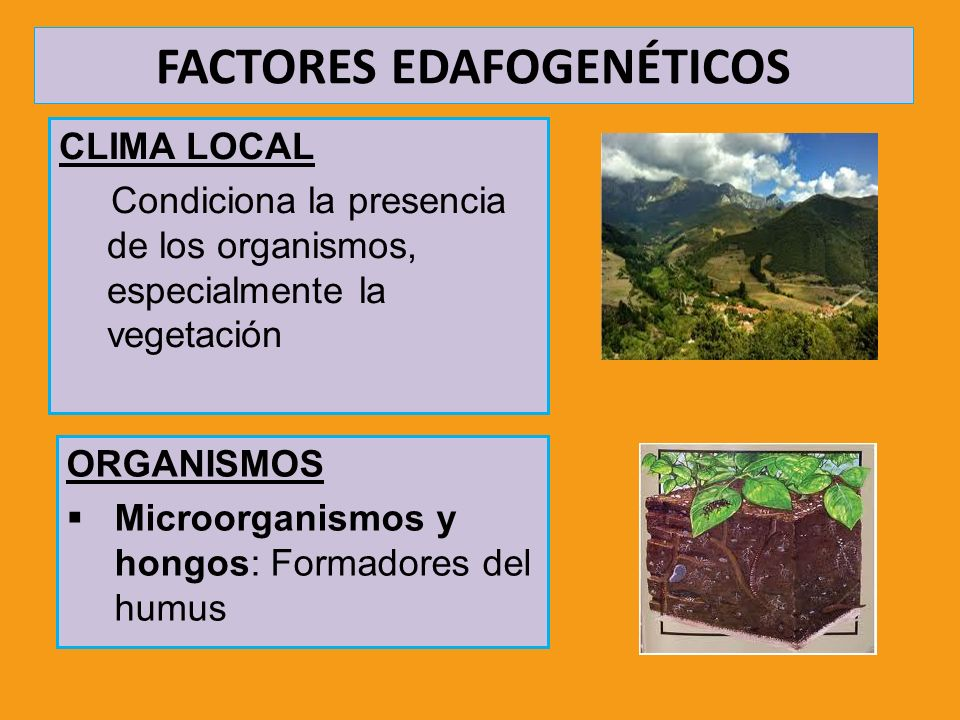FACTORES EDAFOGENÉTICOS CLIMA LOCAL Condiciona la presencia de los organismos, especialmente la vegetación ORGANISMOS Microorganismos y hongos: Formad