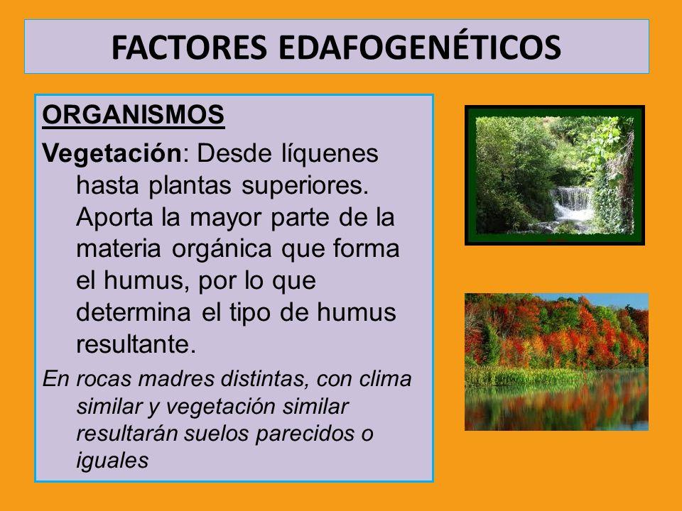 FACTORES EDAFOGENÉTICOS ORGANISMOS Vegetación: Desde líquenes hasta plantas superiores. Aporta la mayor parte de la materia orgánica que forma el humu