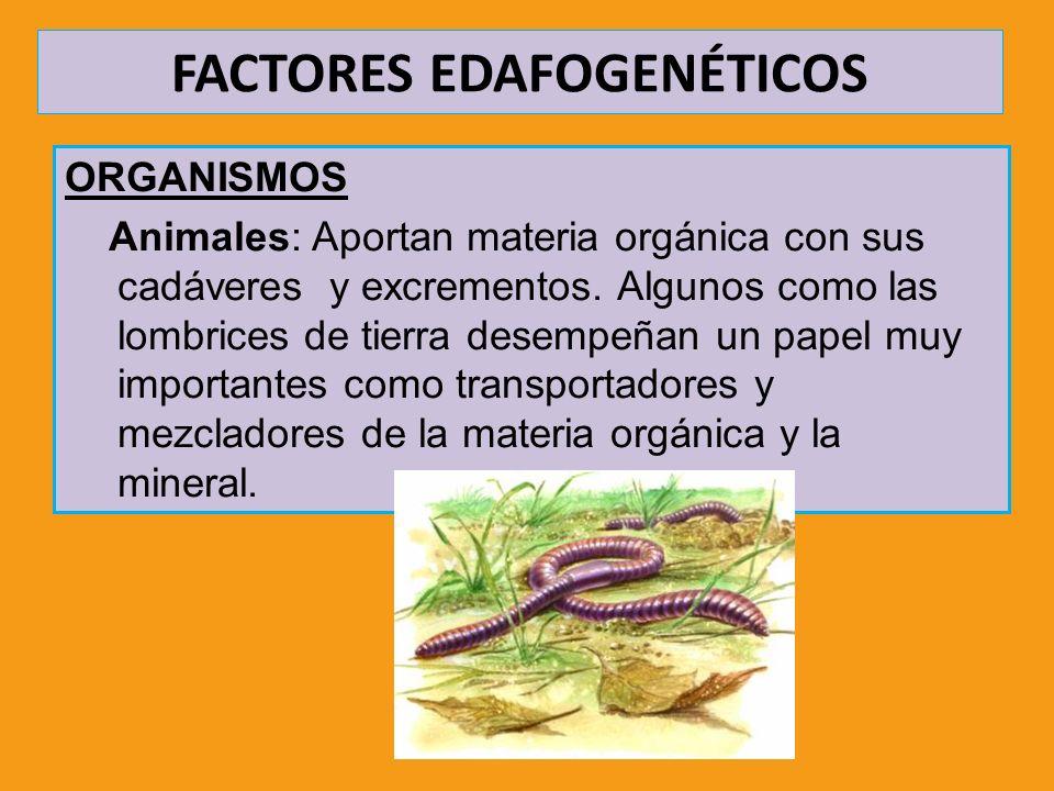 FACTORES EDAFOGENÉTICOS ORGANISMOS Animales: Aportan materia orgánica con sus cadáveres y excrementos. Algunos como las lombrices de tierra desempeñan