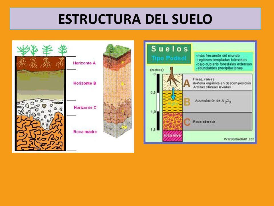 FACTORES EDAFOGENÉTICOS CLIMA LOCAL Condiciona la presencia de los organismos, especialmente la vegetación ORGANISMOS Microorganismos y hongos: Formadores del humus