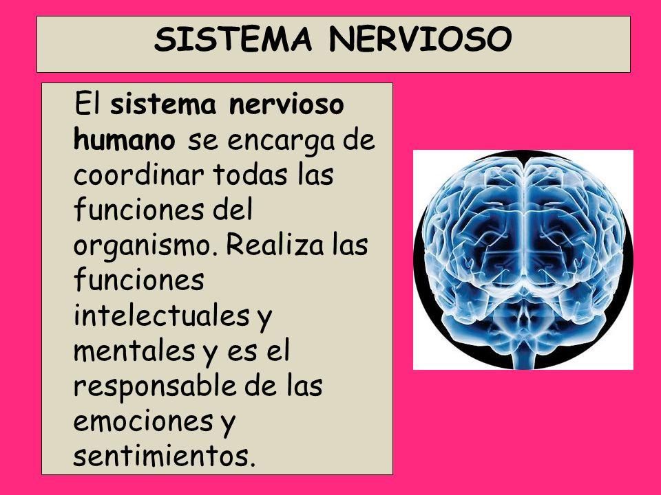 SISTEMA NERVIOSO El sistema nervioso humano se encarga de coordinar todas las funciones del organismo. Realiza las funciones intelectuales y mentales