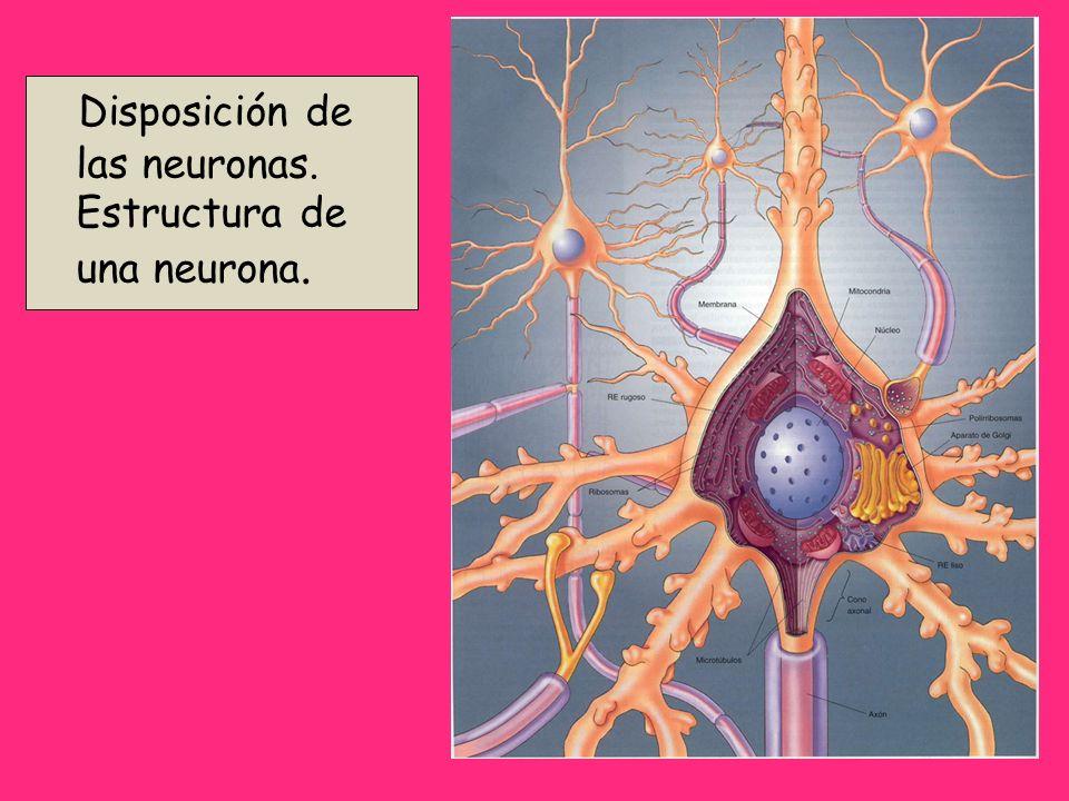 Disposición de las neuronas. Estructura de una neurona.