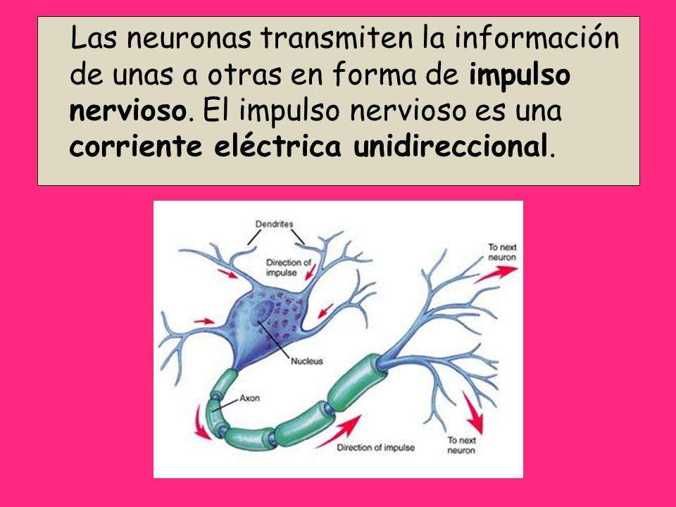 Las neuronas transmiten la información de unas a otras en forma de impulso nervioso. El impulso nervioso es una corriente eléctrica unidireccional.