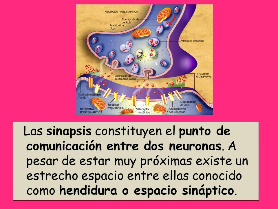 Las sinapsis constituyen el punto de comunicación entre dos neuronas. A pesar de estar muy próximas existe un estrecho espacio entre ellas conocido co