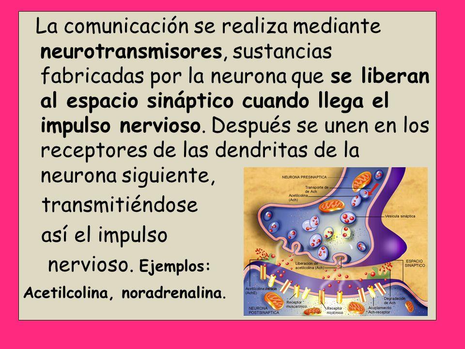 La comunicación se realiza mediante neurotransmisores, sustancias fabricadas por la neurona que se liberan al espacio sináptico cuando llega el impuls