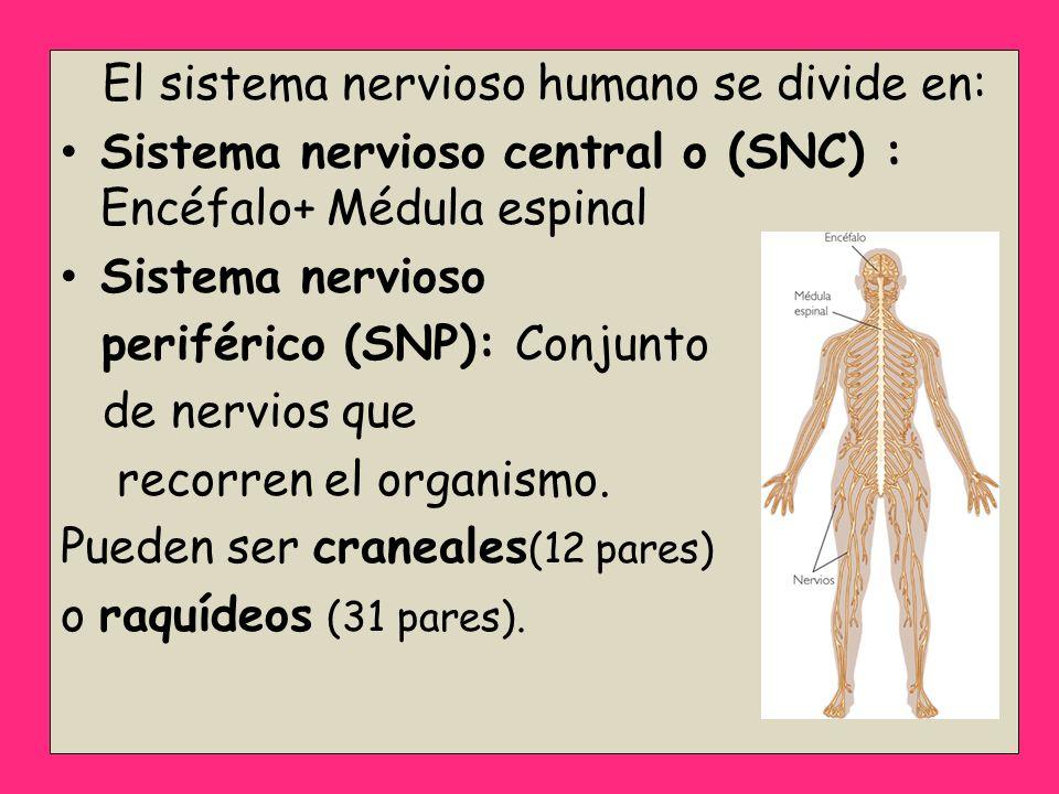 El sistema nervioso humano se divide en: Sistema nervioso central o (SNC) : Encéfalo+ Médula espinal Sistema nervioso periférico (SNP): Conjunto de ne