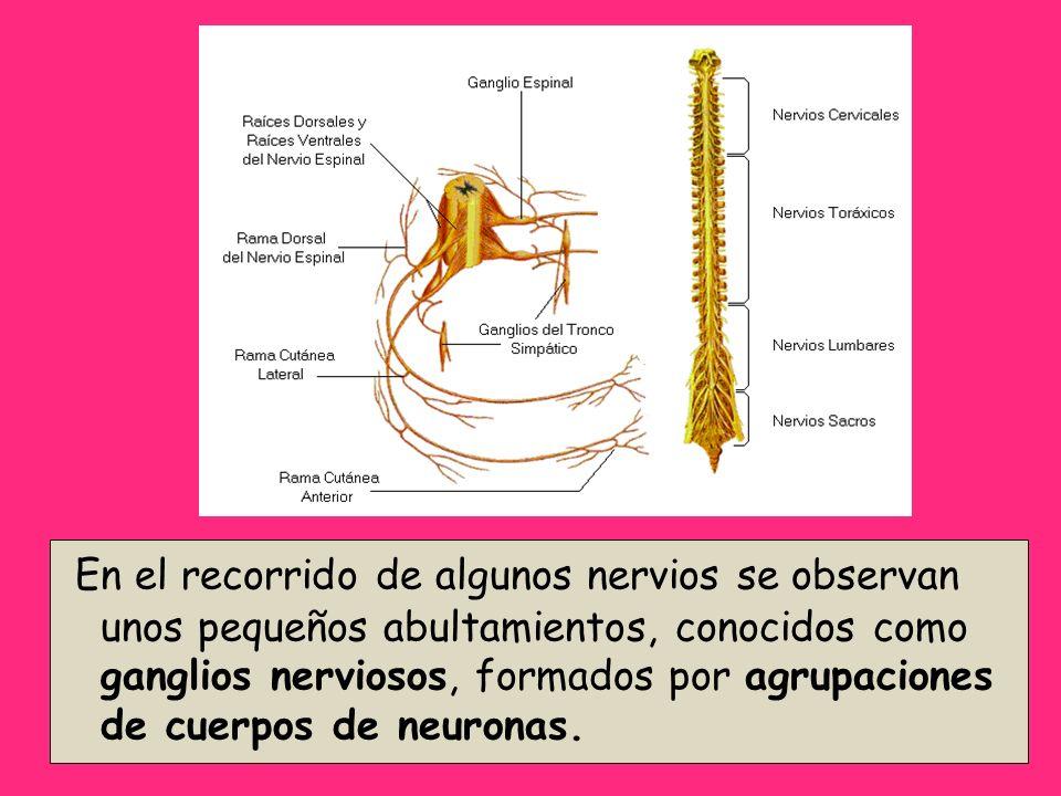 En el recorrido de algunos nervios se observan unos pequeños abultamientos, conocidos como ganglios nerviosos, formados por agrupaciones de cuerpos de