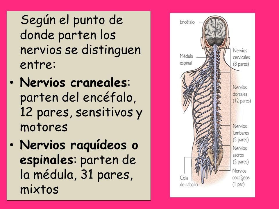 Según el punto de donde parten los nervios se distinguen entre: Nervios craneales: parten del encéfalo, 12 pares, sensitivos y motores Nervios raquíde