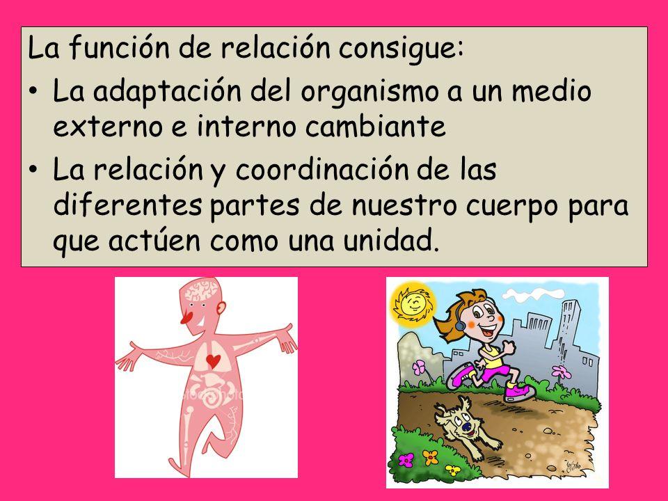La función de relación consigue: La adaptación del organismo a un medio externo e interno cambiante La relación y coordinación de las diferentes parte