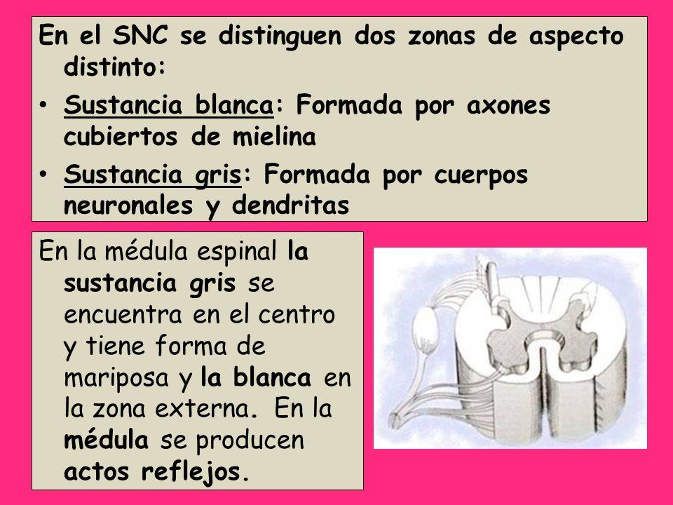 En el SNC se distinguen dos zonas de aspecto distinto: Sustancia blanca: Formada por axones cubiertos de mielina Sustancia gris: Formada por cuerpos n