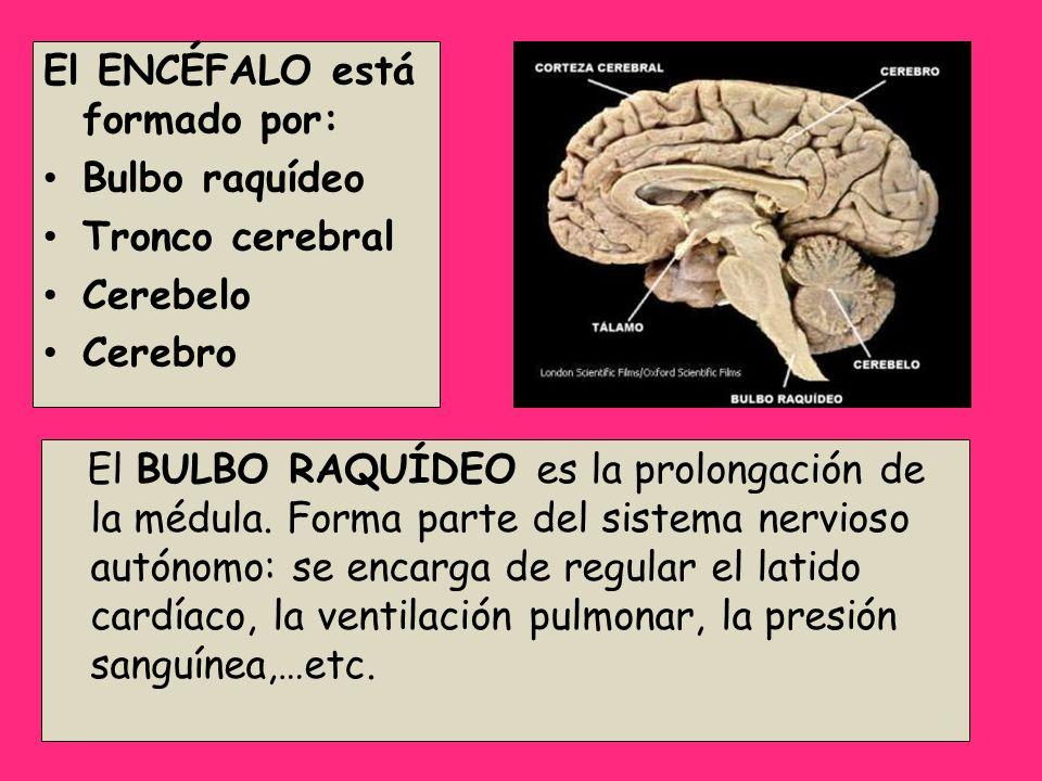 El ENCÉFALO está formado por: Bulbo raquídeo Tronco cerebral Cerebelo Cerebro El BULBO RAQUÍDEO es la prolongación de la médula. Forma parte del siste