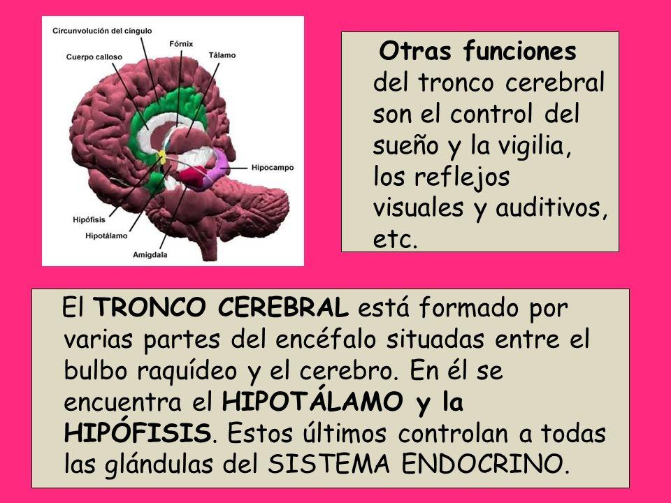 El TRONCO CEREBRAL está formado por varias partes del encéfalo situadas entre el bulbo raquídeo y el cerebro. En él se encuentra el HIPOTÁLAMO y la HI