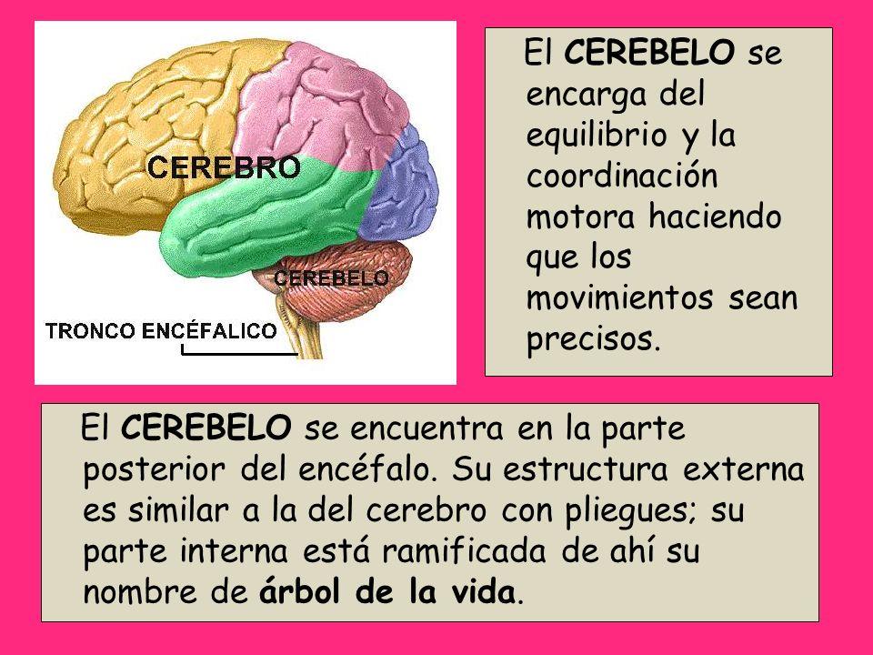 El CEREBELO se encuentra en la parte posterior del encéfalo. Su estructura externa es similar a la del cerebro con pliegues; su parte interna está ram