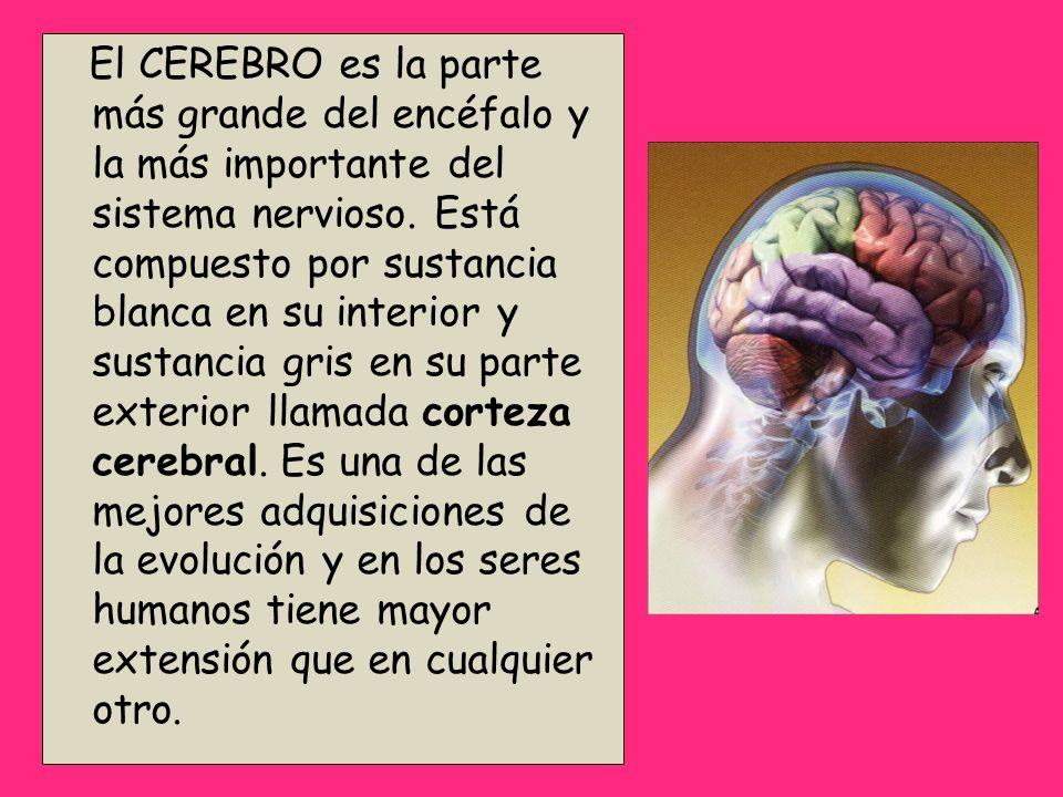 El CEREBRO es la parte más grande del encéfalo y la más importante del sistema nervioso. Está compuesto por sustancia blanca en su interior y sustanci