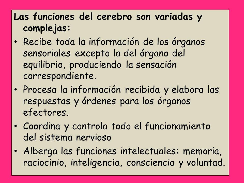 Las funciones del cerebro son variadas y complejas: Recibe toda la información de los órganos sensoriales excepto la del órgano del equilibrio, produc
