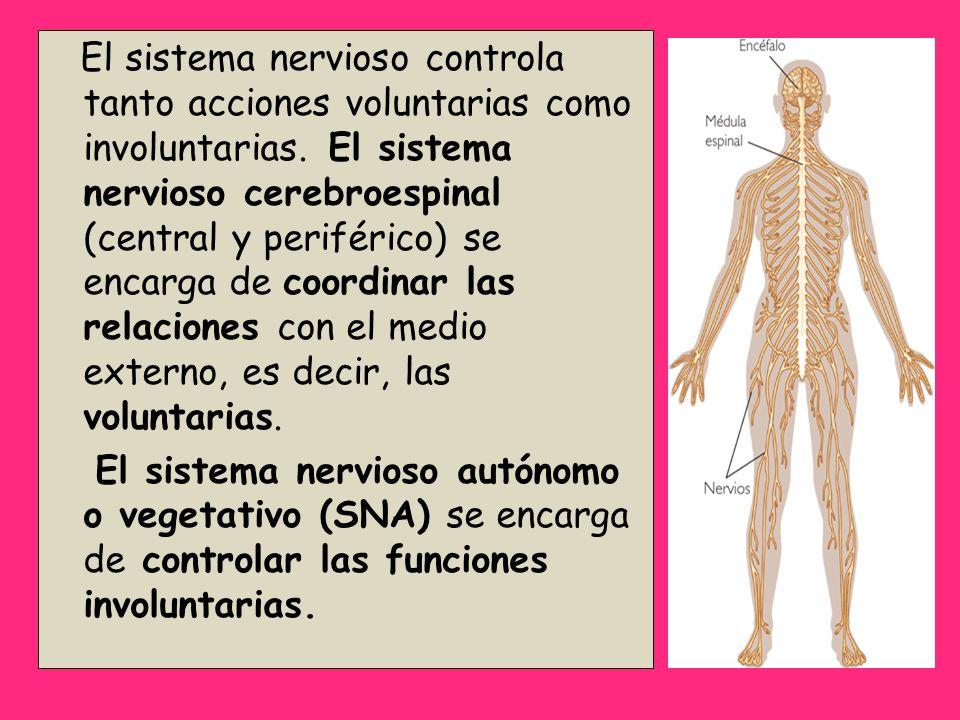 El sistema nervioso controla tanto acciones voluntarias como involuntarias. El sistema nervioso cerebroespinal (central y periférico) se encarga de co