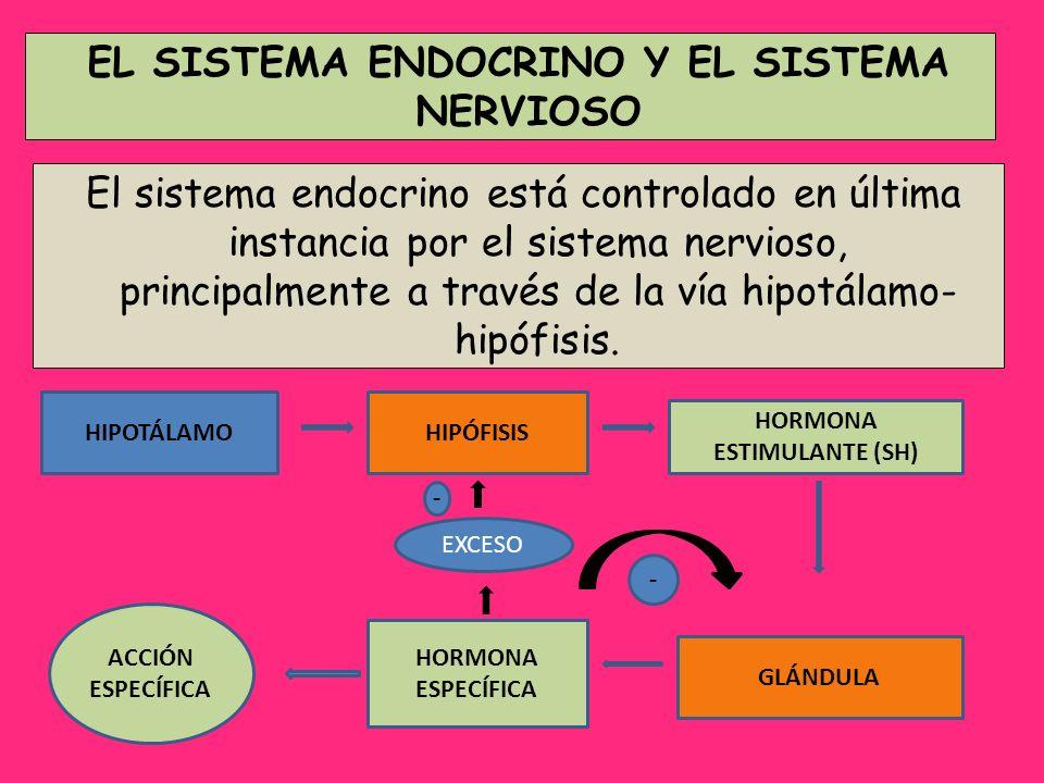 El sistema endocrino está controlado en última instancia por el sistema nervioso, principalmente a través de la vía hipotálamo- hipófisis. EL SISTEMA