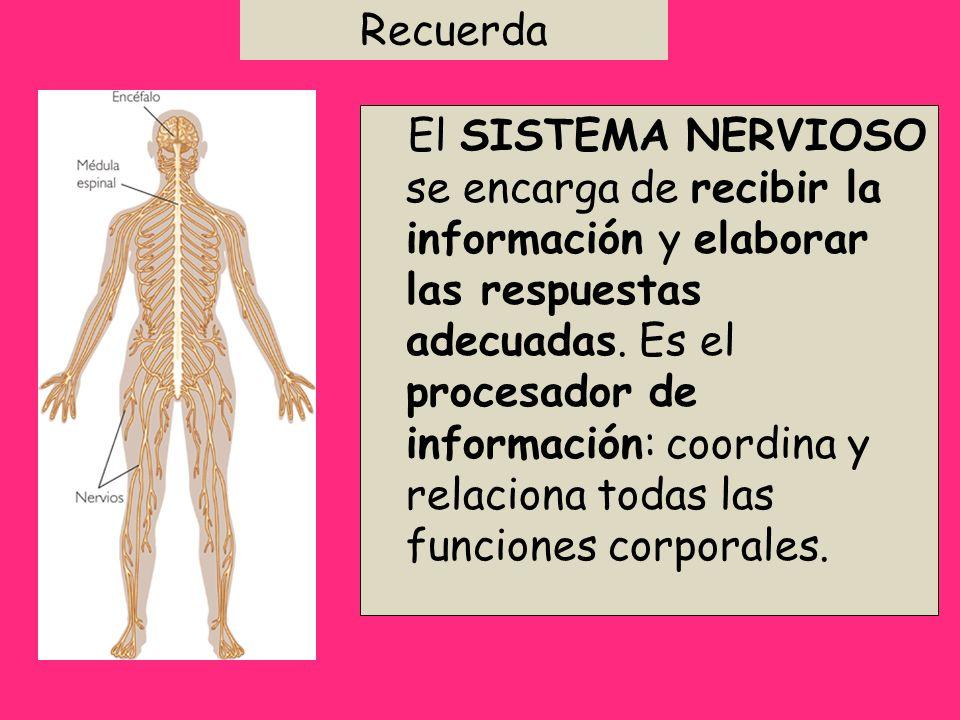 Recuerda El SISTEMA NERVIOSO se encarga de recibir la información y elaborar las respuestas adecuadas. Es el procesador de información: coordina y rel