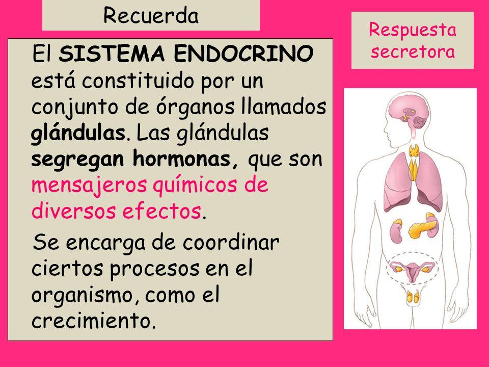 Recuerda El SISTEMA ENDOCRINO está constituido por un conjunto de órganos llamados glándulas. Las glándulas segregan hormonas, que son mensajeros quím