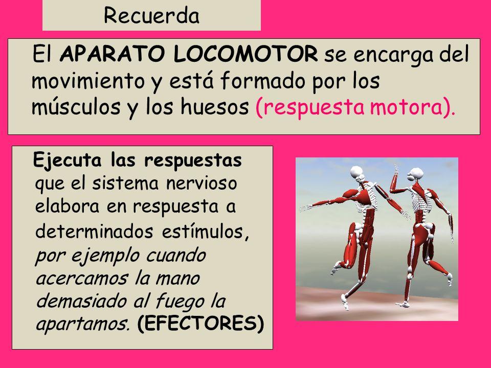 Recuerda El APARATO LOCOMOTOR se encarga del movimiento y está formado por los músculos y los huesos (respuesta motora). Ejecuta las respuestas que el