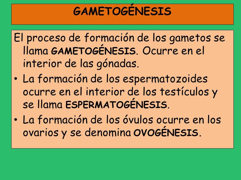 GAMETOGÉNESIS El proceso de formación de los gametos se llama GAMETOGÉNESIS. Ocurre en el interior de las gónadas. La formación de los espermatozoides