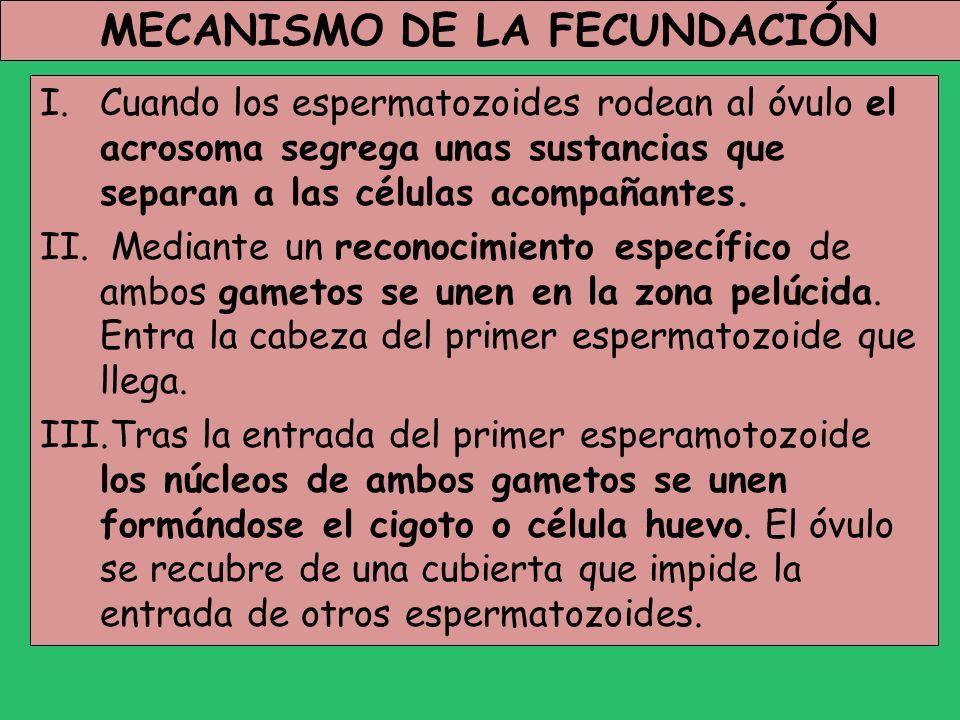 MECANISMO DE LA FECUNDACIÓN I.Cuando los espermatozoides rodean al óvulo el acrosoma segrega unas sustancias que separan a las células acompañantes. I