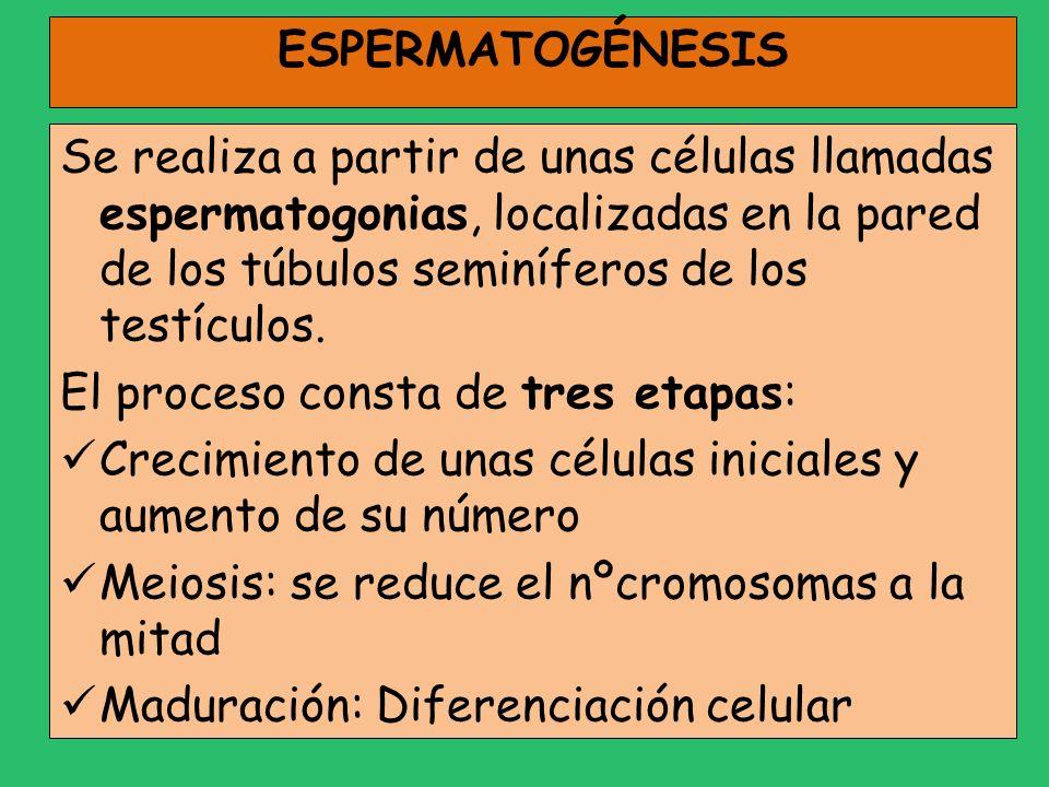 ESPERMATOGÉNESIS Se realiza a partir de unas células llamadas espermatogonias, localizadas en la pared de los túbulos seminíferos de los testículos. E