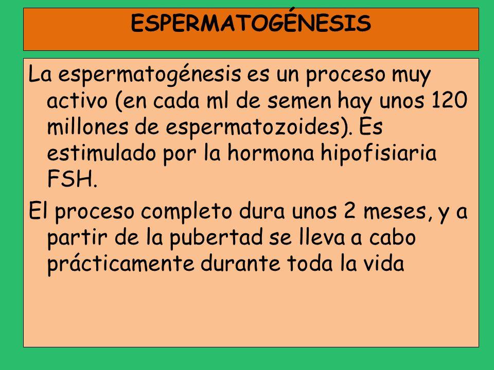 ESPERMATOGÉNESIS La espermatogénesis es un proceso muy activo (en cada ml de semen hay unos 120 millones de espermatozoides). Es estimulado por la hor