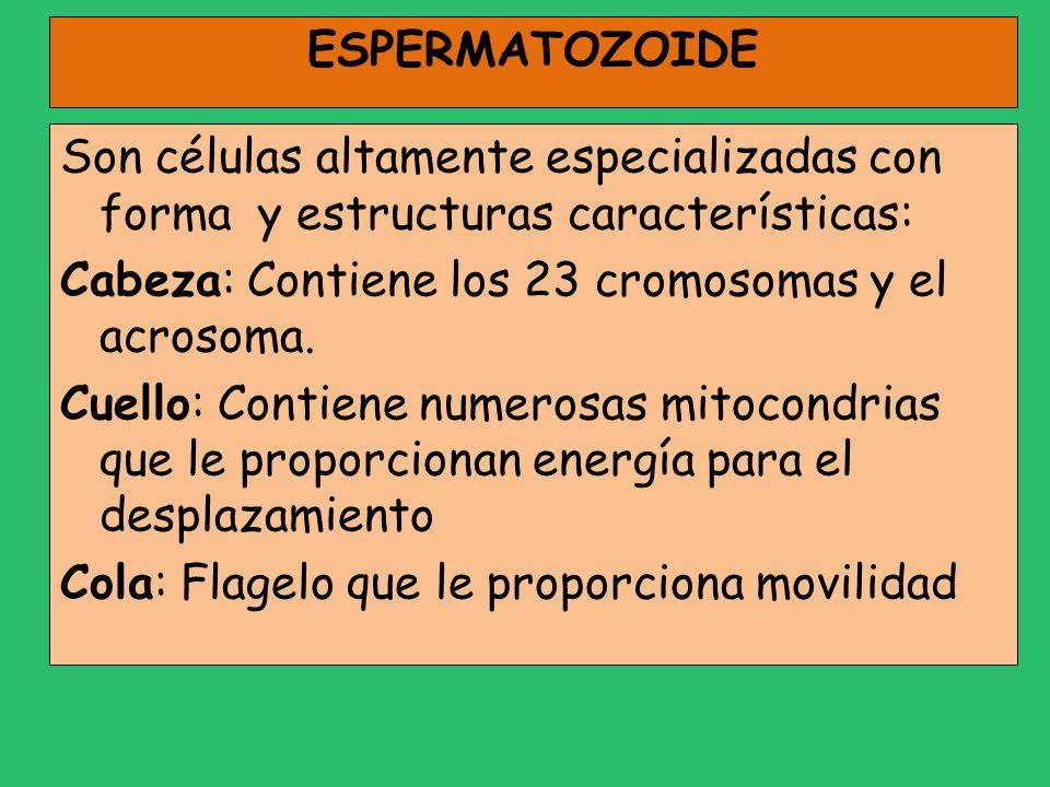ESPERMATOZOIDE Son células altamente especializadas con forma y estructuras características: Cabeza: Contiene los 23 cromosomas y el acrosoma. Cuello: