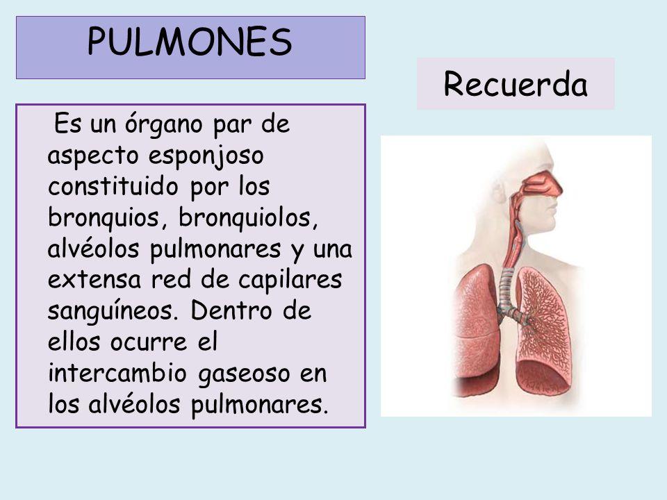 El pulmón derecho está formado por tres lóbulos y el izquierdo solo por dos.