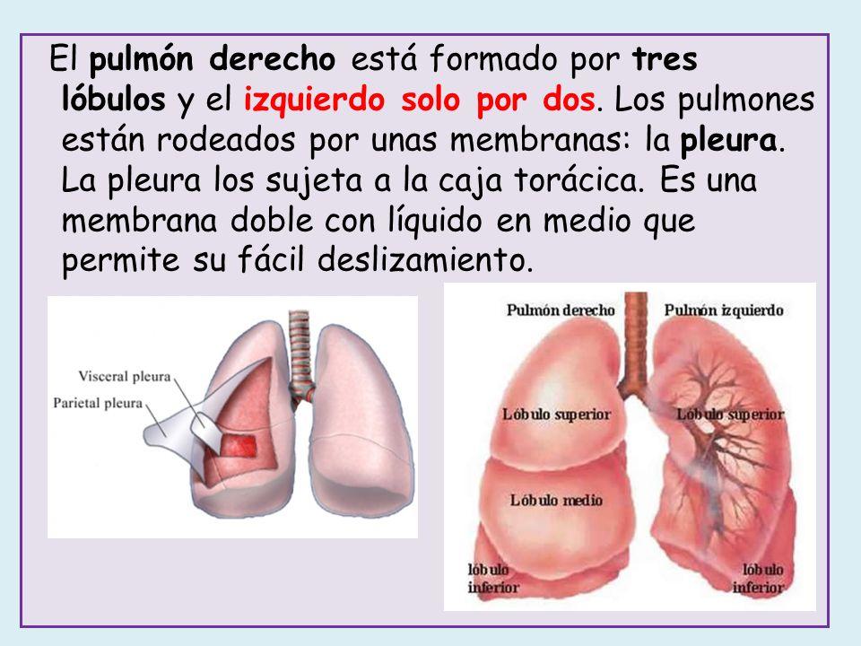 Ocurre dentro de los pulmones, en los alvéolos pulmonares, entre el aire y la sangre.