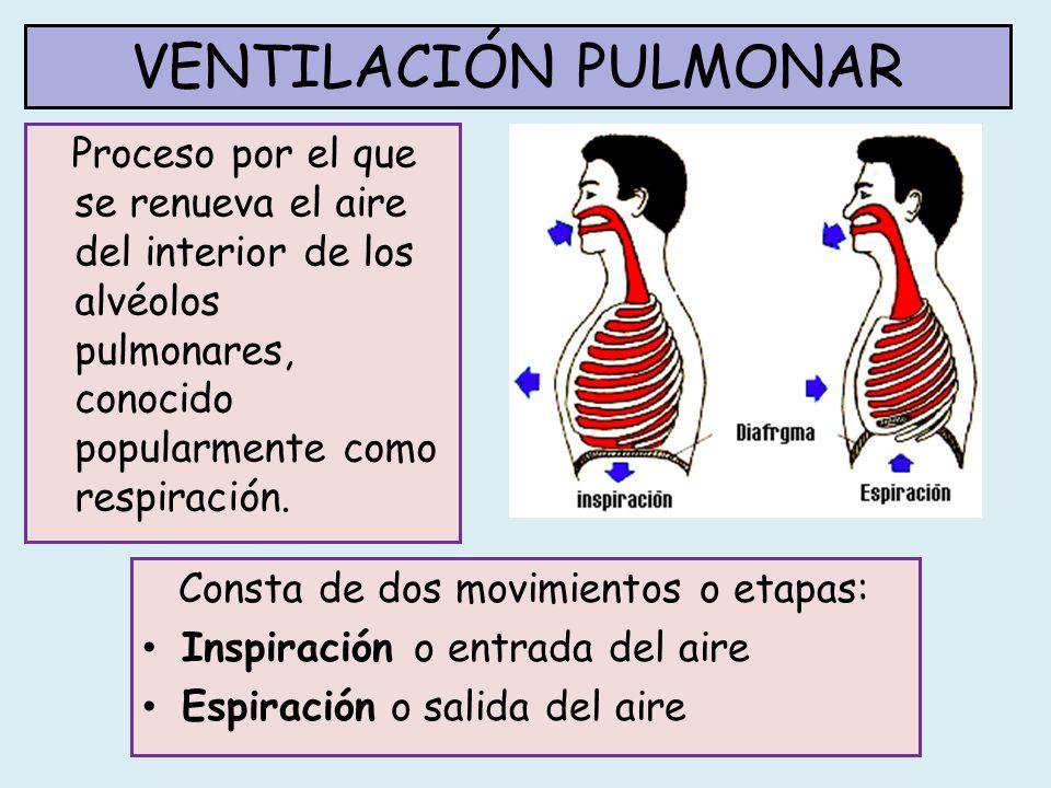 VENTILACIÓN PULMONAR En la inspiración el aire penetra en los pulmones gracias a la contracción de: Músculos de la caja torácica: cuando se contraen, las costillas se elevan hacia el exterior Diafragma: músculo plano que separa el tórax del abdomen.