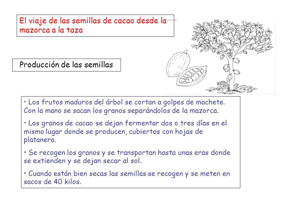 El viaje de las semillas de cacao desde la mazorca a la taza Producción de las semillas Los frutos maduros del árbol se cortan a golpes de machete. Co