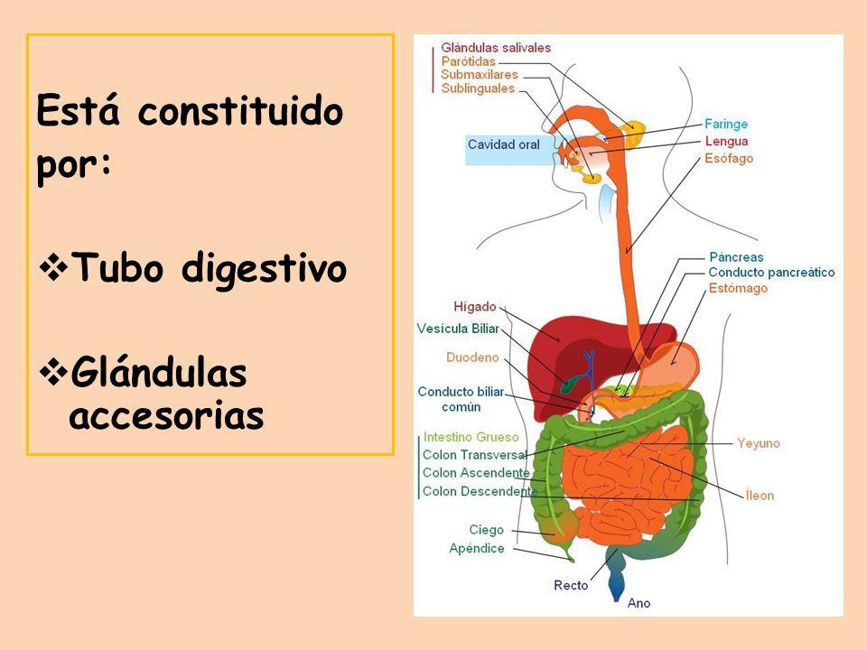 Está constituido por: Tubo digestivo Glándulas accesorias