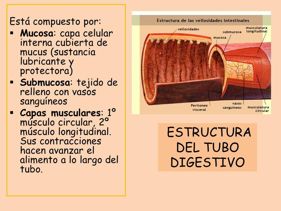 Está compuesto por: Mucosa: capa celular interna cubierta de mucus (sustancia lubricante y protectora) Submucosa: tejido de relleno con vasos sanguíne